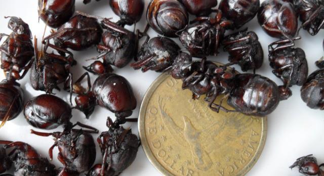 hormigas-culonas-ants-peru