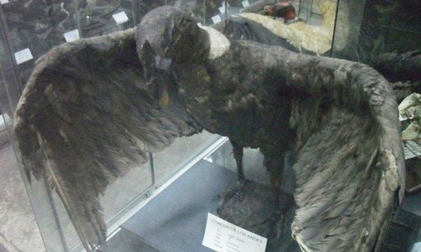Andean Condor, Trujillo Museum