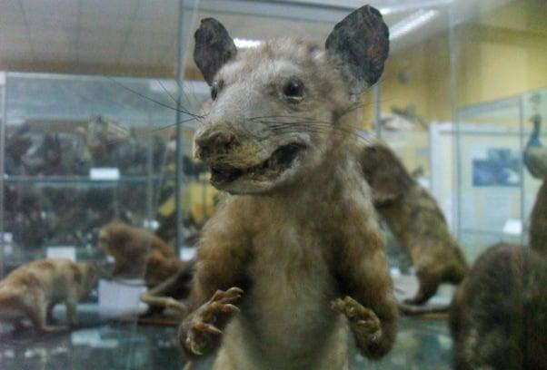 Peru Opossum, Trujillo Museum