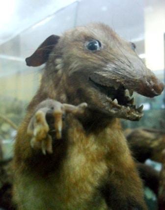 Peruvian Opossum, Trujillo Museo de Zoologia
