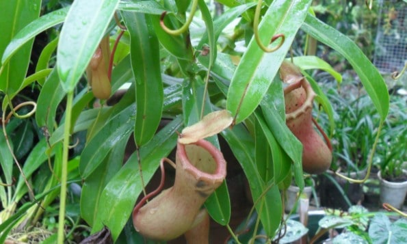 Condom plant