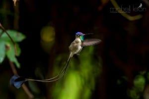 Marvelous Spatuletail Hummingbird (photo © Michell León)