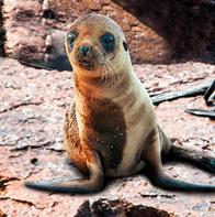 how to peru foca