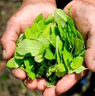 how to peru hojas
