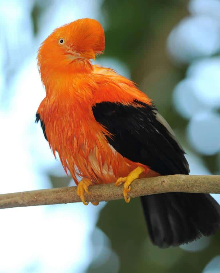 Bird in Manu National park - iquitos