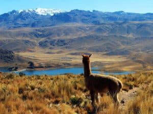 Llama or alpaca looking at lake