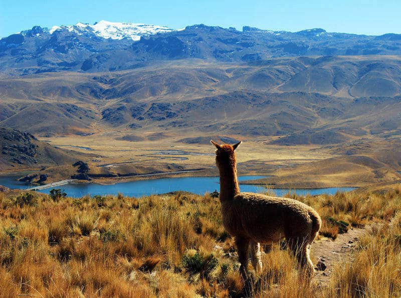 alpaca looking at lake