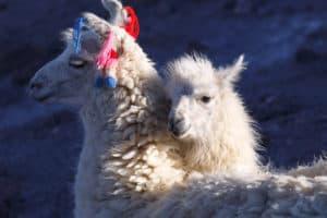 Llamas wearing knitted clothing