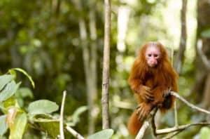 Monkey In Jungle Near Iquitos Peru in Peruvian Amazon Jungle