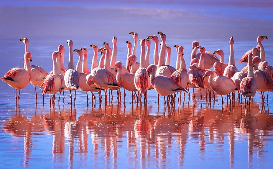 flamingos-at-salar-de-uyuni - How to Peru