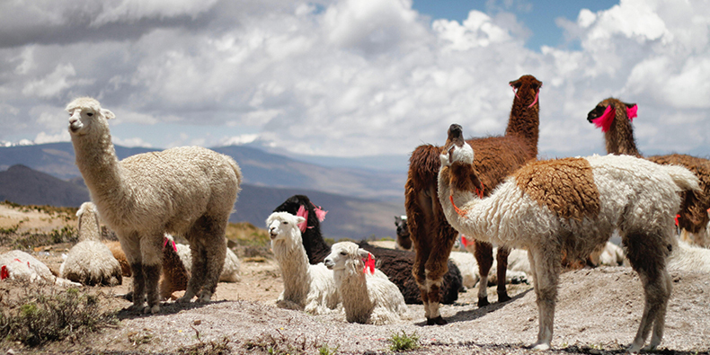 colca valley fauna